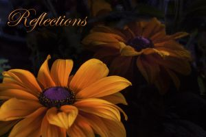 Reflections Black Eyed Susan